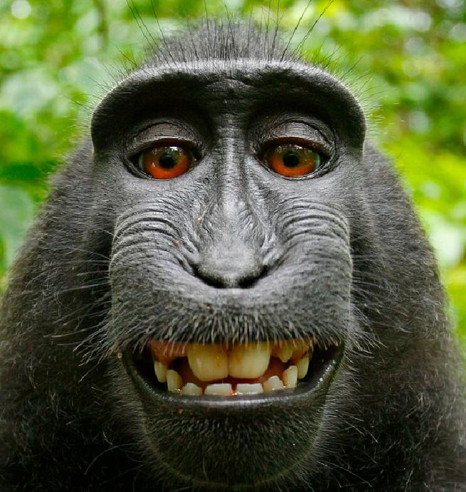 monkey-selfie-wikipedia